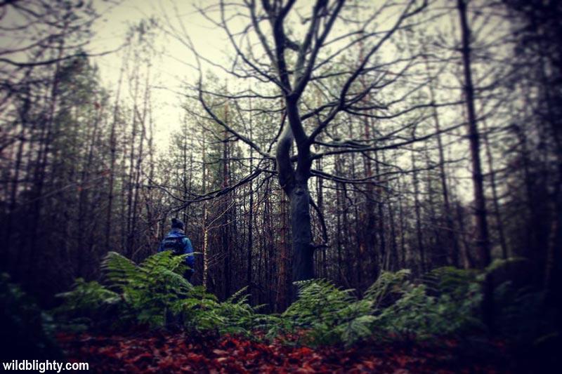 Walking in Delamere Forest